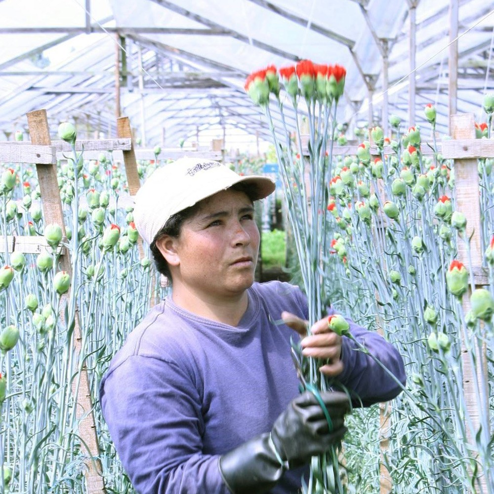 Photograph of flowers being picked and inspected in Colombia